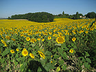 Sunflower fields and open countryside.